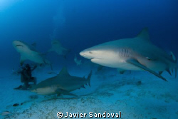 Playa del Carmen bull shark dive awesom!!!! by Javier Sandoval 